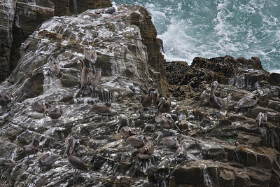 A Pelican Roost.
