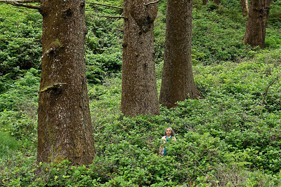 Sitka Spruce trees.