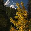 67  G Mt  Hood and Yellow Tree V