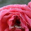 13  G Frosty Rose