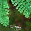 82  G Licorice Fern