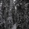 50  G Snowy Larch Mountain Summit Path V