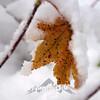 17  G Snowy Larch Mountain Summit Leaf