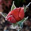 16  G Frosty Rose