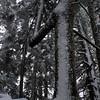 104  G Snowy Larch Mountain Summit Tree V