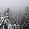 85  G Snowy Larch Mountain Summit Trees