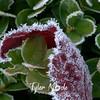 10  G Frosty Leaf