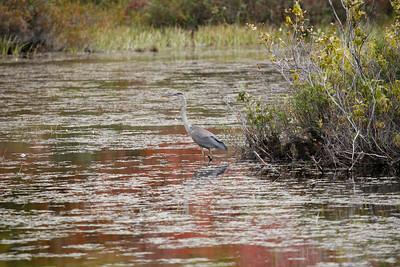 Crane near Lake Winnipesaukee, NH