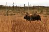 November 5, 2013.  Moose on Postmark Drive