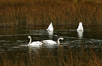 September 21, 2013.  Swans in Potter Marsh