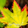 107  G Red Rimmed Maple Leaves