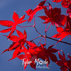5  G Red Maple Leaves and Blue
