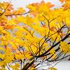 71  G Yellow Leaves Sharp