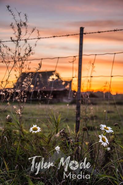 86  G Flowers and Barn Sunset V