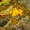 49  Grist Mill Leaf