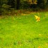 71  Leaf on Barbwire