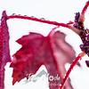 72  G Maple Leaves