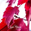 77  G Maple Leaf