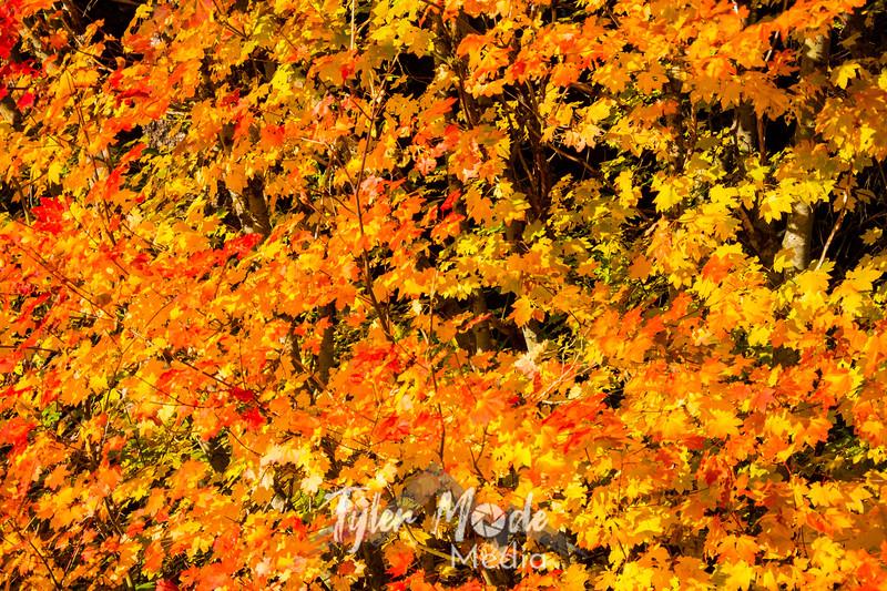 10  Orange Maples