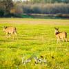 78  G Ridgefield WR Deer