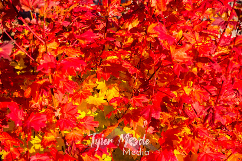 8  G Red Maples