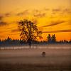 34  G Misty Field Tree Sunset Cow V
