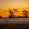 33  G Misty Field Tree Sunset Cows