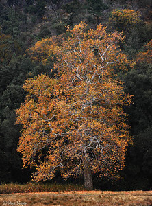 Giant sycamore tree in the mountains near San Diego.