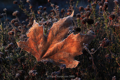 Frost covered sycamore leaf and red bud in the Santa Monica Mountains