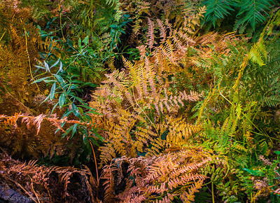 Colorful ferns Stoddard Canyon San Gabriel Mountains north of Los Angeles