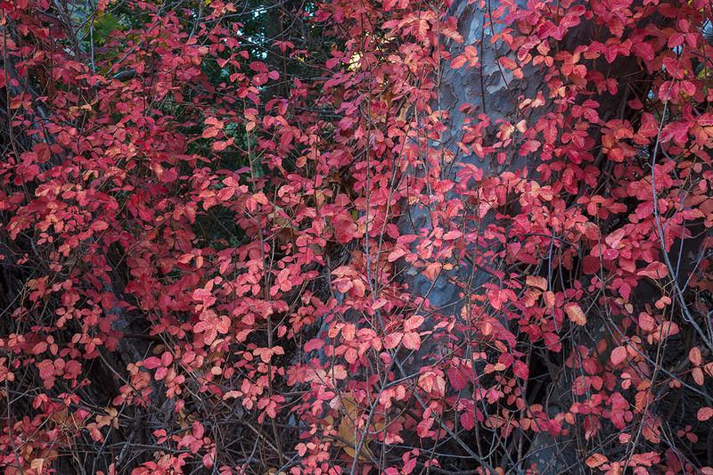 Wall of Poison Oak