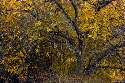 Santa Monica Mountains Black Walnut Tree in Autumn
