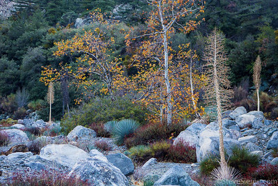 Sycamore and Yucca in Autumn San Antonio Canyon San Gabriel Mountains