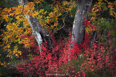 Fall Color near Los Angeles, in the Santa Monica Mountains  Poison oak surrounds a sycamore in a dry creek.