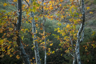 Sycamore Trees in the Fall, Santa Monica Mountains