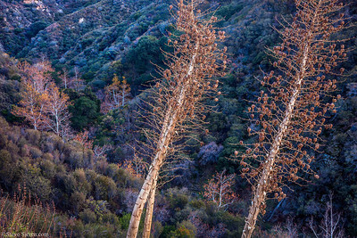 Fall_Color_Sycamore_Yucca_Angeles_National_Forest_Canyon_Southern_California