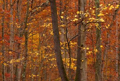 Deep Woods, Yellow Leaves