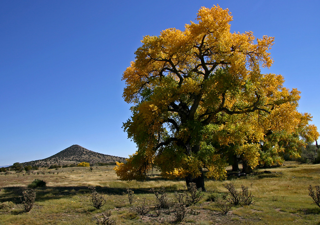 Cottonwoods near Santa Fe