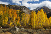 Soft light on the Aspen in Surveyor's Meadow along the road to South Lake in the Eastern Sierra. <br /> This is a must see location when the Aspen are blazing with color. I spend a lot of time here early in the Fall Color season.<br /> At different times during the day, the tree's take on an almost neon effect depending on the sun's location and the cloud cover. <br /> There are Aspen that line the mountain valleys and ridges.<br /> This image does no justice to the meadow, but it does give you a more intimate look at the play of light on these Aspen.