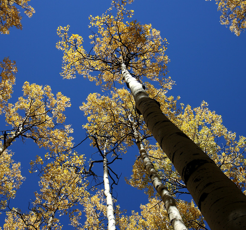 Aspen in the Pecos wilderness