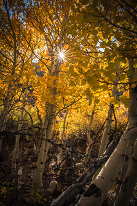 Aspens in Rock Creek Canyon, Road to South Lake