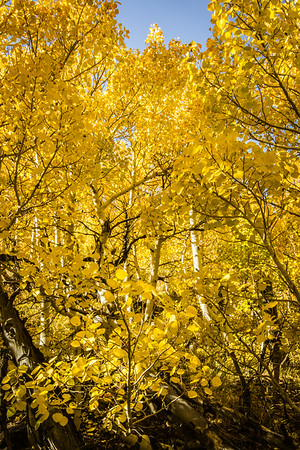 Beautiful Aspens, Rock Creek Canyon