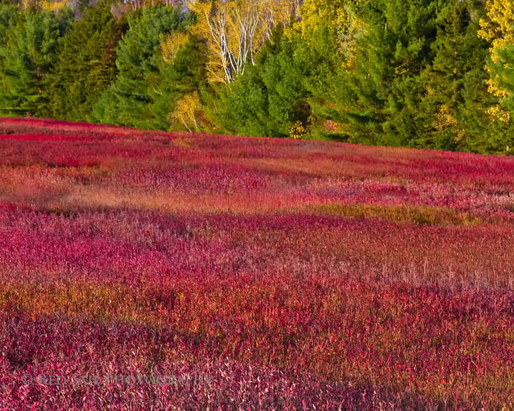 Blueberry Field of Maine..