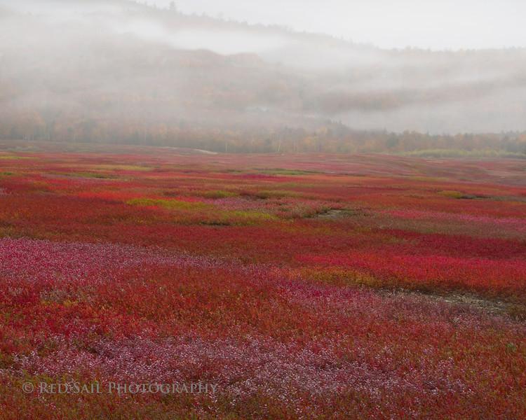 Blueberry Fields in Fog.