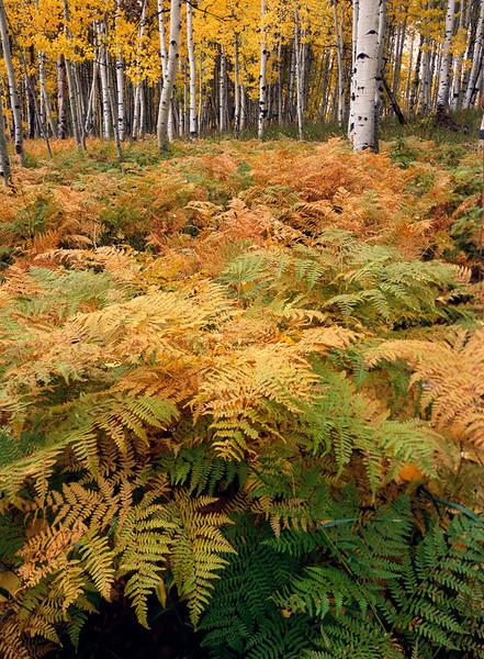 Kebler Pass Ferns