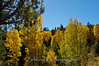 Quaking aspens bring brilliant color to Hope Valley, CA. in the fall.