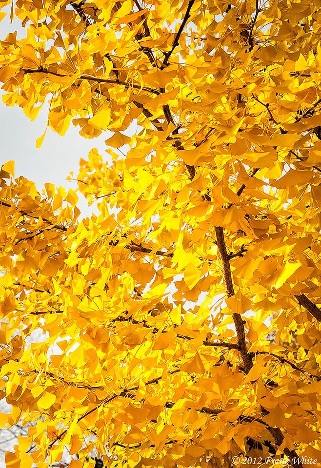 Ginko tree in full fall colors.