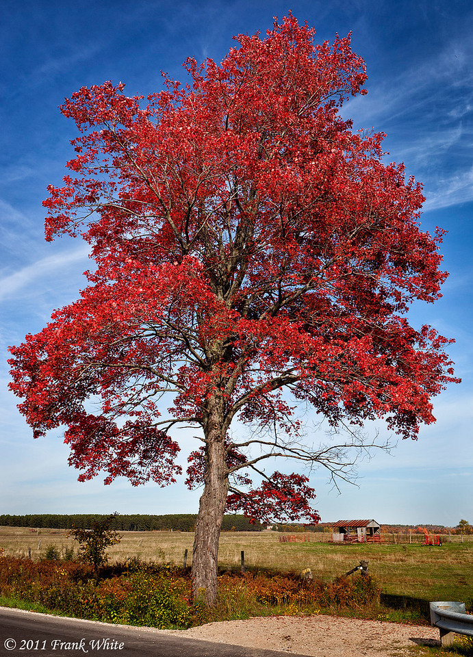 Oak tree in full color, northern Michigan.