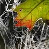Spiderweb and Foliage