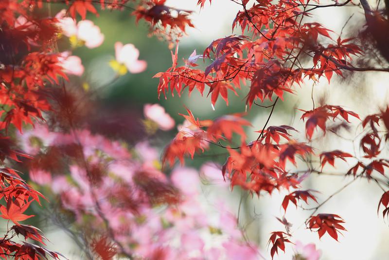 Japanese Maple & Dogwood Flower